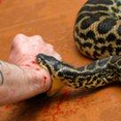 Снилось что змея укусила