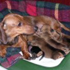 Фото Сонник принимать роды у собаки
